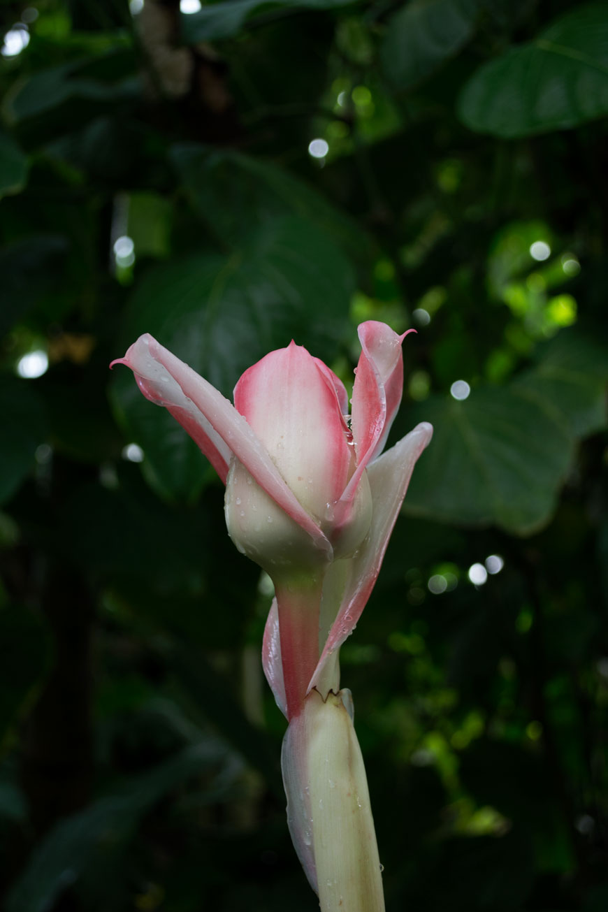 A blushing pink tropical flower against a backdrop of lush green leaves at botanical gardens Meise