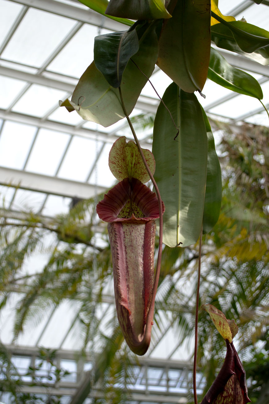 Deep red blushing fly catcher hanging inside the glasshouse at botanical gardens Meise