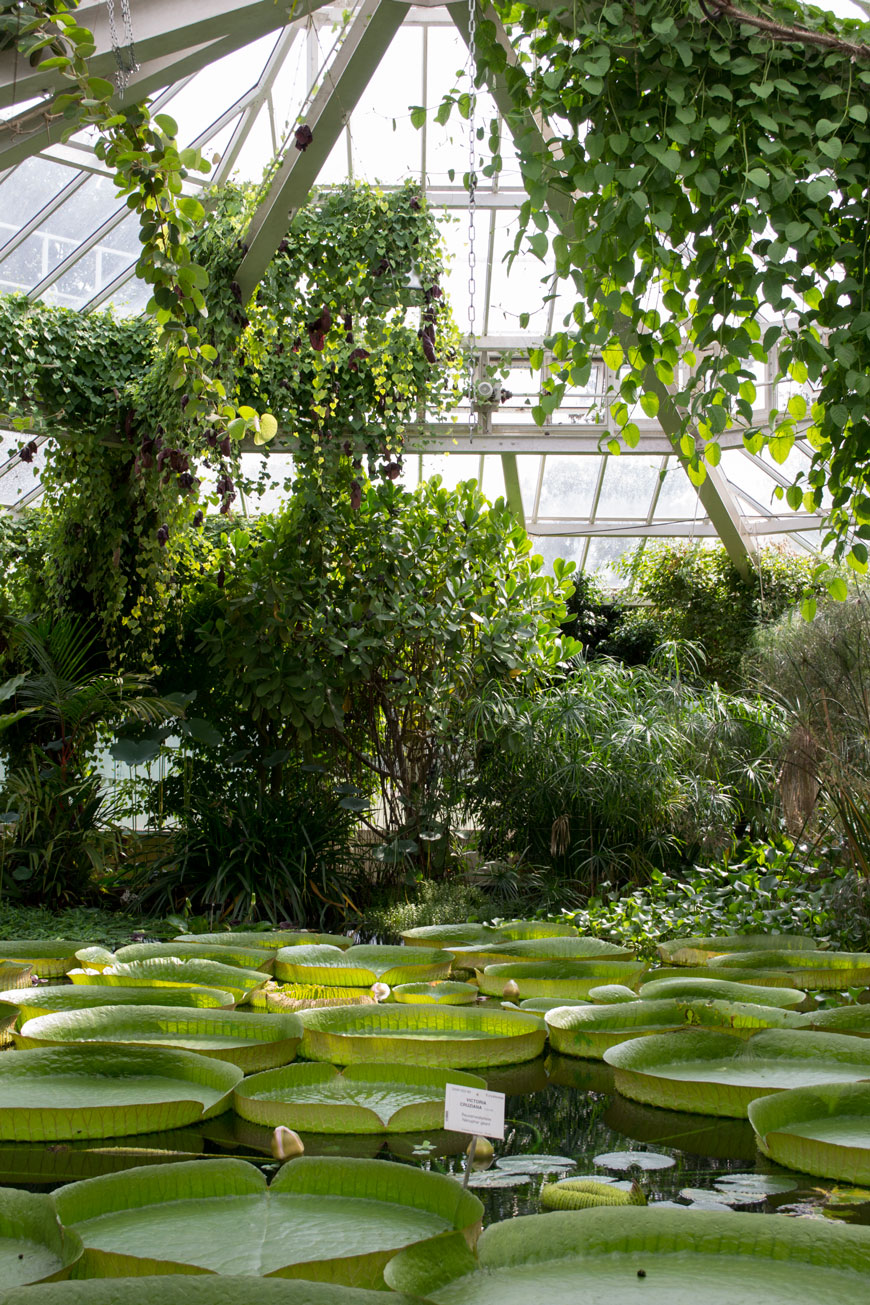 Giant lily pads and trailing plants inside the botanical gardens Meise
