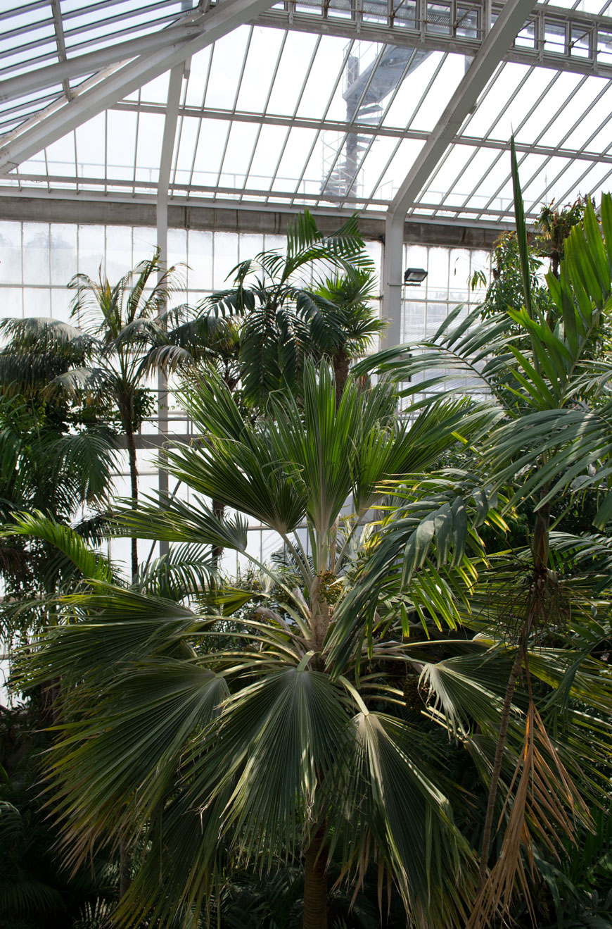 Giant palm trees almost as tall as the glasshouse inside the plant palace at botanical gardens Meise