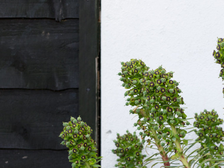 A striking black pearl Euphorbia against a black fence in a black and white garden