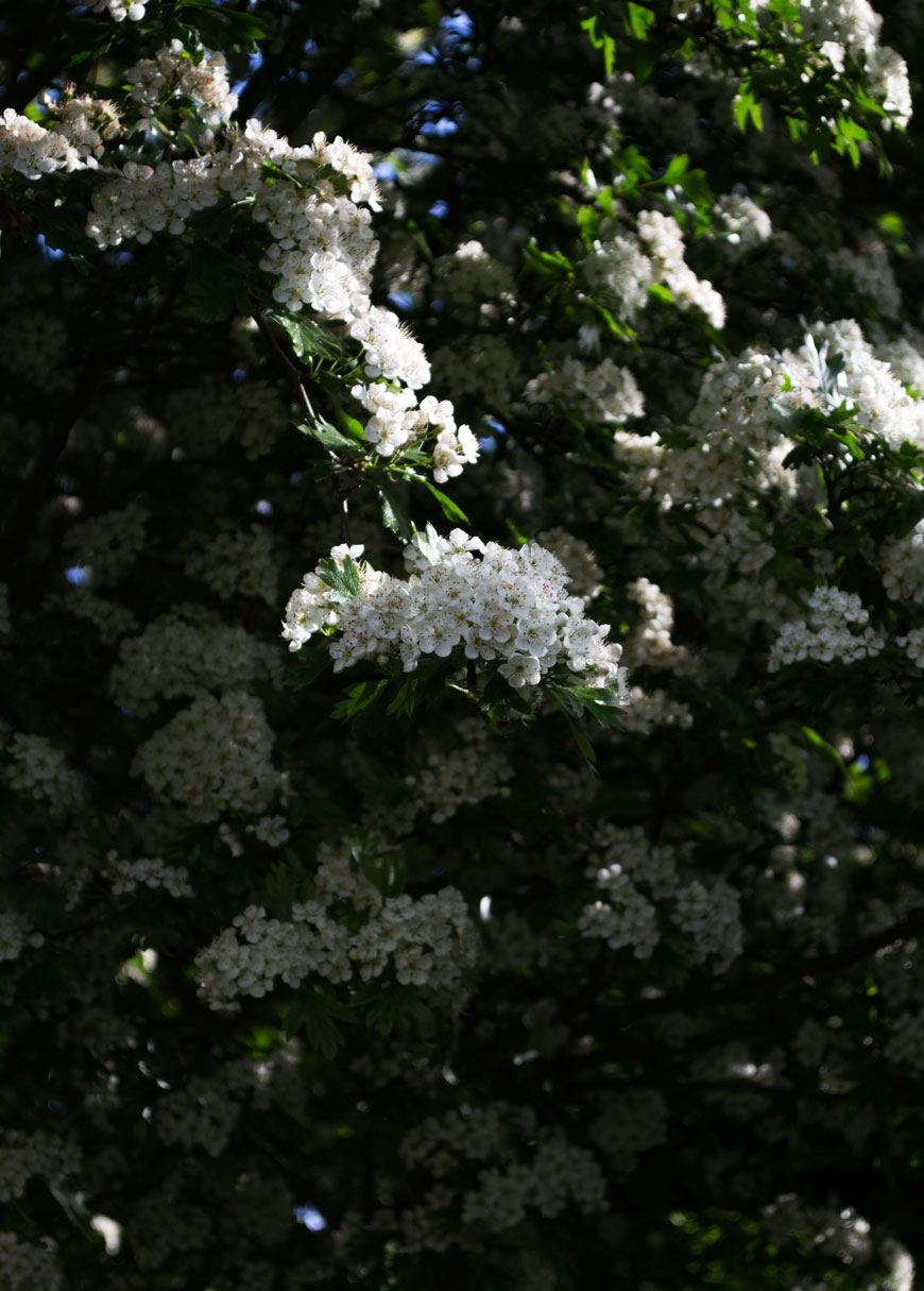 Delicate white hawthorn tree blossoms in our black and white garden.