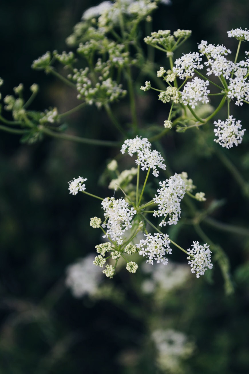 A frothy head of delicate white cow parsley flowers.