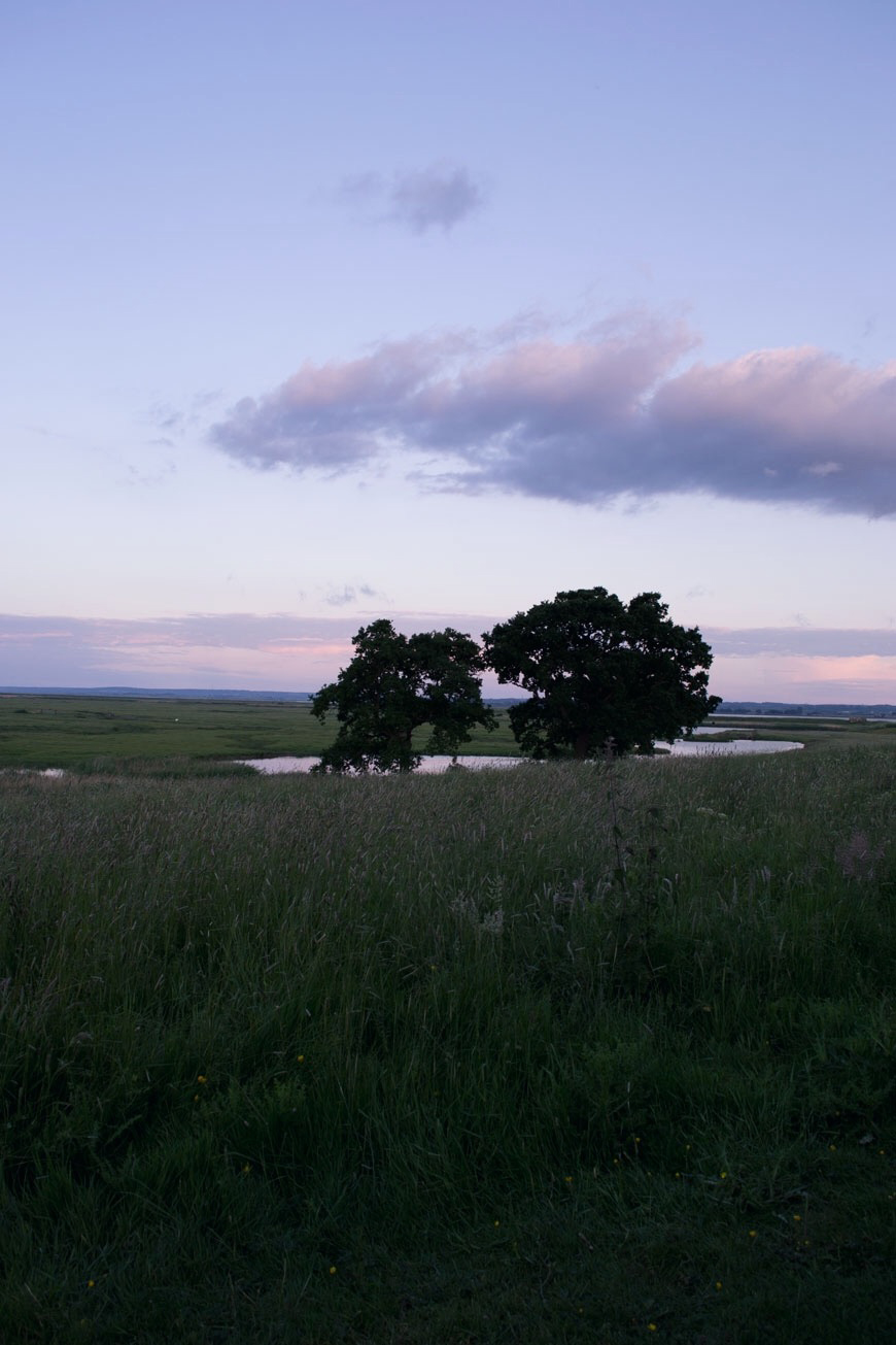 Two large oak trees silhouetted in a field of grasses at sunset.