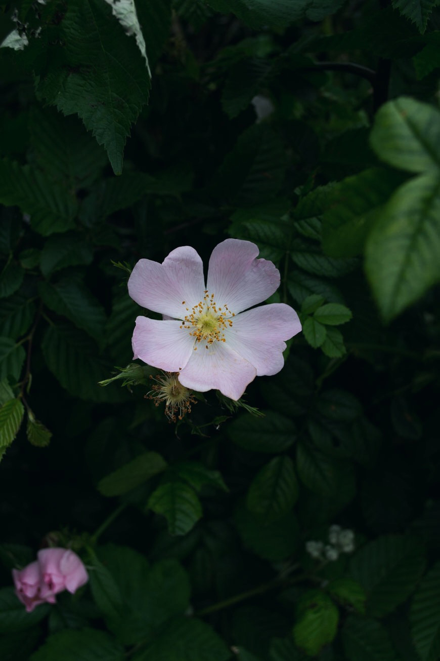 A beautiful soft pink dog rose bush flowering in the dusk at Elmley Nature Reserve.