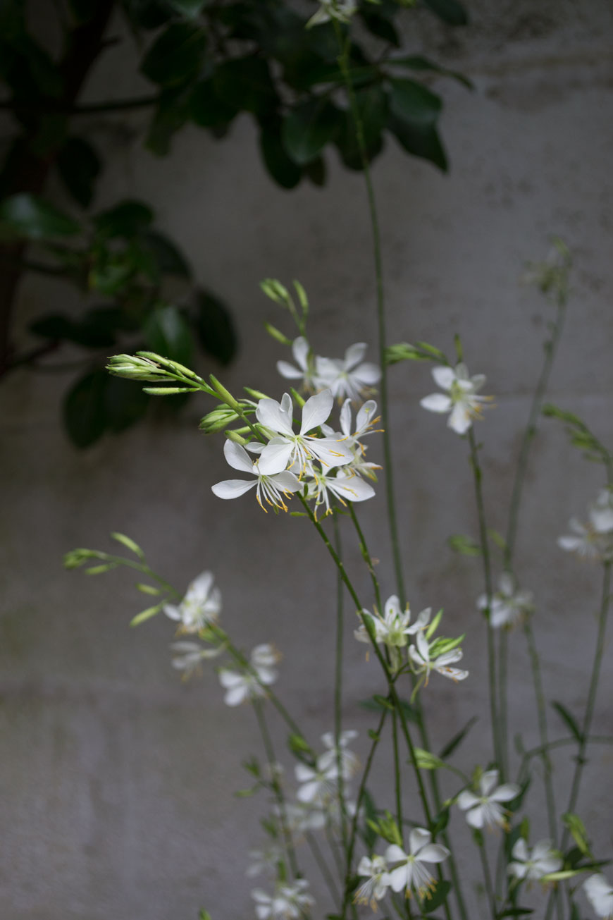 Delicate white Gaura flowers and tips of how to make the garden feel like an extension of your home.