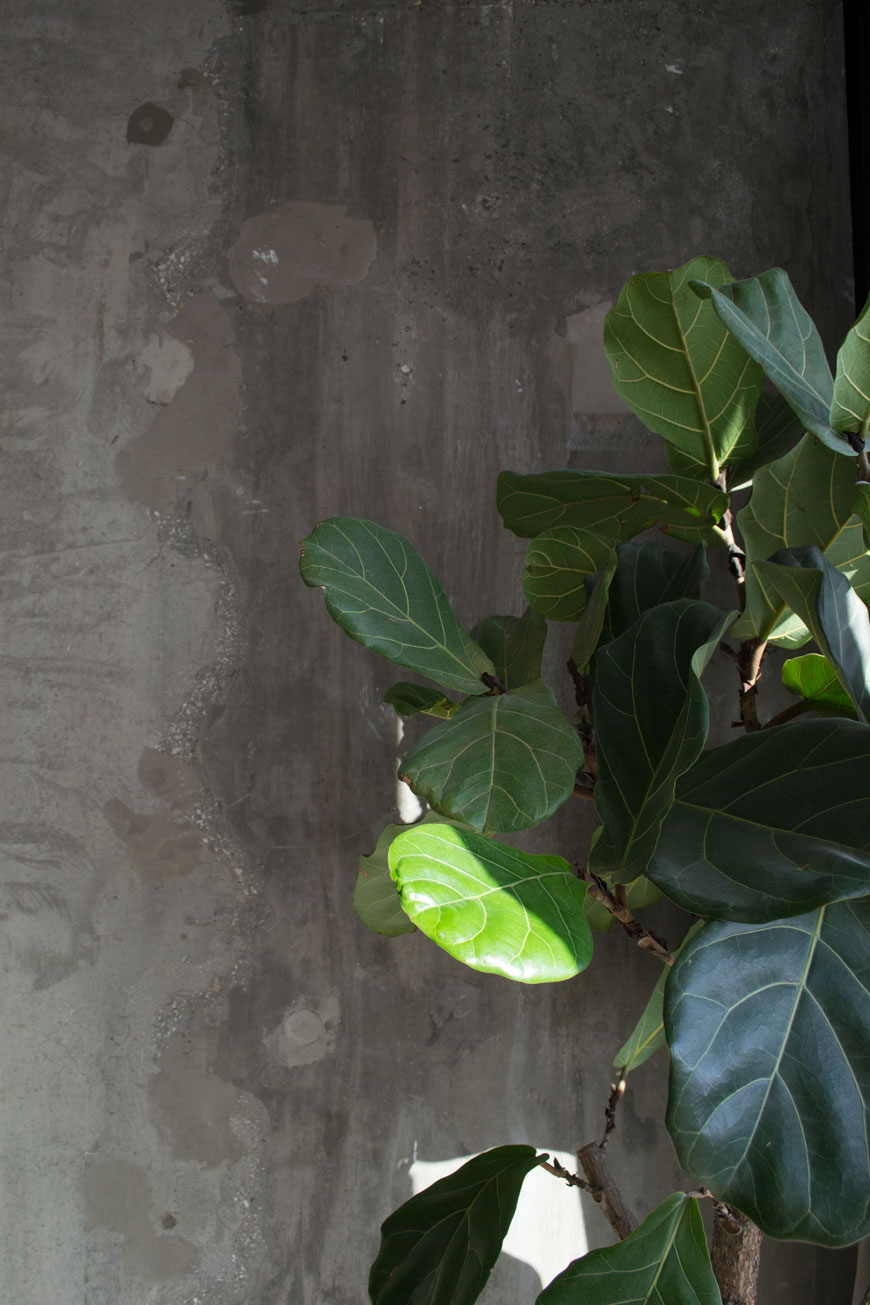 Lush, shiny leaves of a fiddle leaf fig catch the sunlight against a concrete wall.