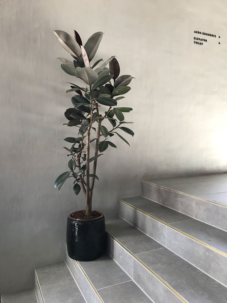 A potted rubber tree stands against concrete coloured plaster walls inside The Audo hotel in Copenhagen.